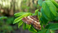 Beautiful Creatures, Moth, Butterflies, Wildlife, Animals, Animales, Animaux, Butterfly, Animal