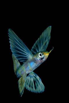 "Flying fish ~ Raja Ampat, Indonesia ~ by Keri Wilk ~ Mik's Pics ""Sea Life l"" board Underwater Creatures, Underwater Life, Underwater Pictures, Beautiful Sea Creatures, Animals Beautiful, Fauna Marina, Water Animals, Life Aquatic, Beautiful Fish"