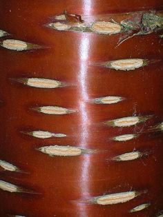 Cherry Bark - Ecorce de Cerisier