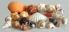 conchas marinhas - Pesquisa do Google
