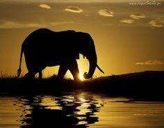 Słoń, Woda, Zachód Słońca