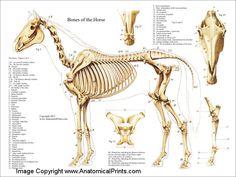 Лошадь Скелетная Анатомия. Приведен постер малого разрешения (увы!), напоминание о существовании подобных.