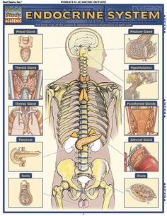 ENDOCRINE SYSTEM QuickStudy® Each area of the endocrine system is clearly detailed and labeled through full-color illustrations. #medical #doctor #nurse