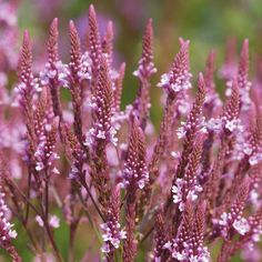 Verbena hastata Pink Spires - Cottage garden plant, high, flowers over a long period (June to September inc). Hardy perennial - My Cottage Garden Verbena, Horticulture, Cottage Garden Plants, Cottage Gardens, Hardy Perennials, Pink Perennials, Wildflower Seeds, Pink Blossom, Garden Inspiration