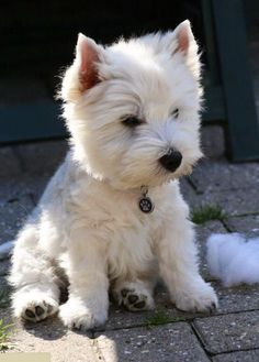 Have you ever seen a Westie cock their head to the side? The West Highland Terrier is a breed to end all breeds. Cute Puppies, Cute Dogs, Dogs And Puppies, Westie Puppies, Terrier Puppies, Awesome Dogs, Cute Small Dogs, Samoyed Dogs, Small Puppies