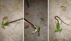 Video has emerged showing a green tree frog has making a meal out of a small carpet pythong in Darwin.