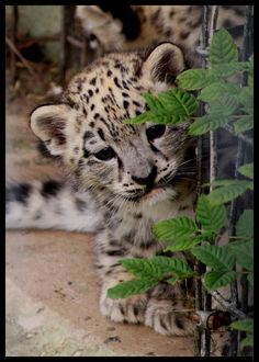 a young snow leopard cub keeping an eye on us. - a young snow leopard cub keeping an eye on us. Baby Snow Leopard, Leopard Cub, Cute Baby Animals, Animals And Pets, Funny Animals, Wild Animals, Big Cats, Cats And Kittens, Cute Cats