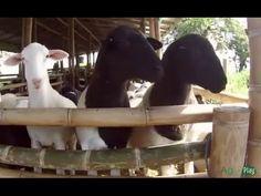Cría de Ovejas - Explotación Ovina con mejor Genética -TvAgro por Juan G... Alpacas, Sheep, Goats, Horses, Tractor, Farming, Youtube, Animals, Milk