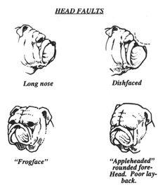An Illustrated Guide to the Bulldog Standard, English Bulldog Standard, English Bulldog Colors, English Bulldog Size Mini English Bulldogs, English Bulldog Care, English Bulldog Puppies, French Bulldog, Boxer Bulldog, Baby Bulldogs, Bulldog Pics, Bulldog Skateboard, Victorian Bulldog