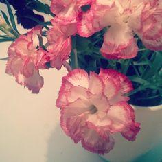 Voihan neilikka. Mutta kun ei enää kolmatta viikkoa jaksais katsella teitä   #neilikatovatikuisia #neilikka #kukka #flowers #flower #kukkia #maljakossa #decor #koristelu