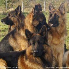 Adopting a German Shepherd Dog From An Animal Shelter Big Dogs, I Love Dogs, Cute Dogs, Dogs And Puppies, Doggies, Beautiful Dogs, Animals Beautiful, Animals And Pets, Cute Animals