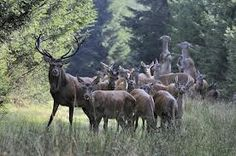 Les cerfs, forêt de Chantilly, France www.verychantilly.com