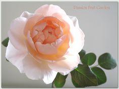 ambridge rose - Google Search