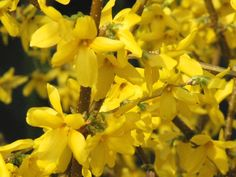 Types of Forsythia Bushes