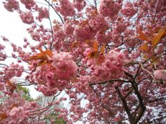 I'm taking a quick break from Easter decorating and cooking to let you guys know, that there's nothing more captivating than awakening of Spring in Edinburgh. Spring Photography, Happy Spring, Cherry Tree, Pretty In Pink, Colours, Blossoms, Plants, Flowers, Cherry Blossom Tree