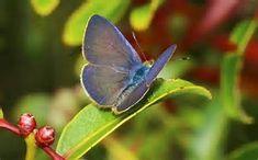 Native Plants and Pulelehua, For All You Lepidopterists! - Kauai Seascapes Nursery, Inc.