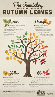 biology infographic The chemistry behind the colors of autumn leaves infographic Infographic Plant Science, Science Biology, Teaching Science, Science For Kids, Science Activities, Life Science, Science Nature, Science Ideas, Science Lessons