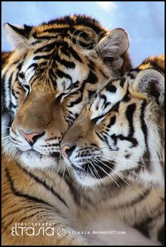 Tiger love (by Nathalie Voisine on . (KO) Love and snugglies, tiger style. Pretty Cats, Beautiful Cats, Animals Beautiful, Animals And Pets, Funny Animals, Cute Animals, Wild Animals, Baby Animals, Tiger Pictures