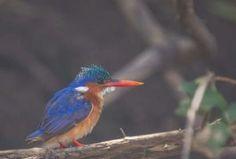 malachite kingfisher photos / 500px