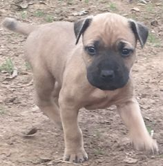 Bandogs For Sale by ASC