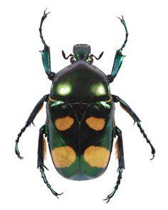 Flower Beetle (Jumnus ruckeri) from The Evolution Store