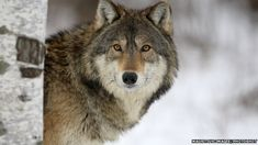 Individual wild wolves can be recognised by just their howls with 100% accuracy, a study has shown. The team from Nottingham Trent University, UK, developed a computer program to analyse the vocal signatures of eastern grey wolves. Wolves roam huge home ranges, making it difficult for conservationists to track them visually. But the technology could provide a way for experts to monitor individual wolves by sound alone.