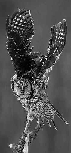 Owl coming in for a landing