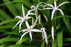 Tropical Lilies