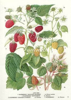 Vintage Botanical Print Antique RASPBERRIES, plant print botanical print, bookplate art print, berries fruit plants plant wall print