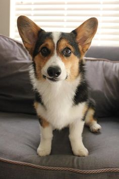 Cute tri-colored Corgi dog