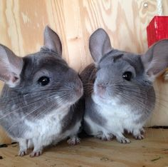 Morgan_and_Pomfis | Community Post: 7 Chinchillas You Need To Be Following On Instagram