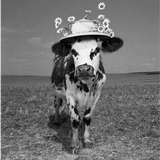 Hermione, the cow with amazing hats by Jean Baptiste Mondino