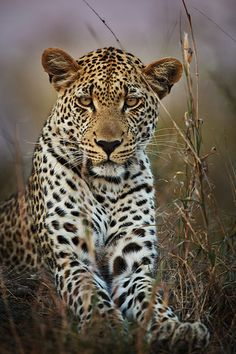 ~~ Portrait of Makepisi ~~ male leopard by Xenedis~~