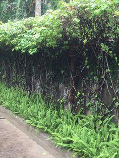 Interesting way of hedging bougainvilla