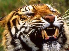 Tiger - Handy Hintergrundbilder: http://wallpapic.de/tiere/tiger/wallpaper-31453
