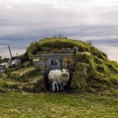 Sheep, Røst by Adam Billyeald