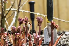 Who doesn't enjoy brushing aside winter mulch and garden debris to see what little plants are poking up through the soil? In many locations, the redpink shoots of peony plants are one of the earlier signs of spring. Click this article to learn about spring care of peonies.