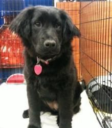 Bella-Ruby is an adoptable Border Collie Dog in North Wilkesboro, NC. Bella is an adorable puppy, about 5 months old. She enjoys the company of other dogs and although a little shy with people sometim...