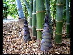 Dendrocalamus Giganteus. Time Lapse 2012. Published on Jul 11, 2012 A three week period, compressed into one minute, showing emerging shoots of Dendrocalamus giganteus bamboo.  Filmed at Tropical Bamboo Nursery & Gardens, South Florida. www.tropicalbamboo.com