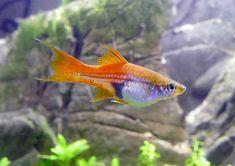 10 Best Freshwater Fish Species for Aquarium - The Buzz Land Best Aquarium Fish, Tropical Fish Aquarium, Nature Aquarium, Freshwater Aquarium Fish, Aquarium Ideas, Swordtail Fish, Pet Fish, African Cichlids, Colorful Fish