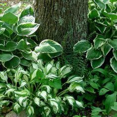 Hosta Undulata: A Bullet Proof Addition To Your Shade Garden