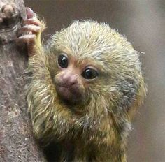 Cute Pygmy Marmoset baby at Northern Ireland's Belfast Zoo. Marmosets are the world's smallest monkey species. Newborn Animals, Cute Baby Animals, Primates, Mammals, Pygmy Marmoset, Marmoset Monkey, Monkey Species, Cute Animal Drawings Kawaii, Pet Monkey