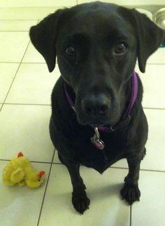 Ellie abandons Mr. Duck for my apple.