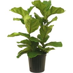 Delray Plants 8-3/4 in. Ficus Pandurata Bush in Pot (100 BRL) ❤ liked on Polyvore featuring plants and fillers
