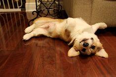 71 Reasons We Need to Save the Corgi from Extinction! Dapple Dachshund, Dachshund Puppies, Cute Puppies, Pet Dogs, Pets, Corgi Dog Breed, Wiener Dogs, Chihuahua Dogs, Corgi Mix