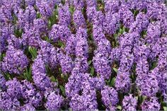 hyacinth | Photo of Field of purple hyacinth