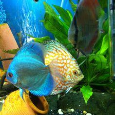 3 of my 6 discus fish