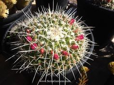 Now in spring bloom at Serra Gardens Landscape Succulents in Fallbrook, California: the small bright pink flowers of Mammillaria compressa, commonly called Mother of Hundreds.   #succulents_redflowers  #Mammilaria_compressa  #succulents_droughttolerant