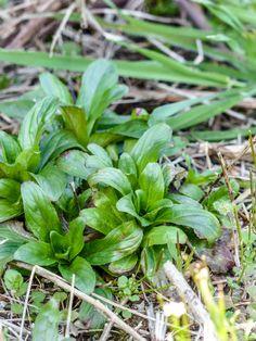 La mâche sauvage ou doucette. Les feuilles de la doucette s'utilisent exactement de la même manière que la mâche cultivée, c'est à dire le plus souvent en salade. Mais elles sont délicieuses aussi cuisinées à la manière des épinards, ou incorporées aux farces de légumes.