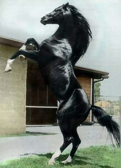 Cass Olé (6.3.1969|29.6.1993) Al-Marah Cassanova {Rapture x Cassandra by Raffles} x La Bahia {Hanrah x Ronara by Roayas} Texas bred black Arabian stallion.